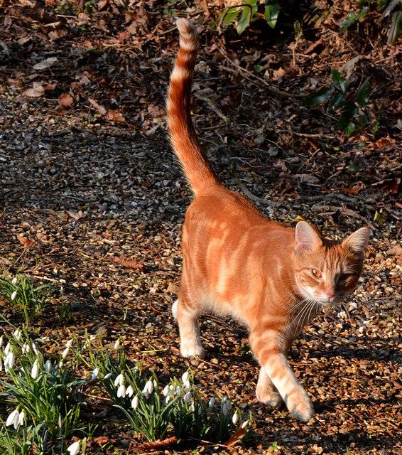 Mačka uspravnog repa