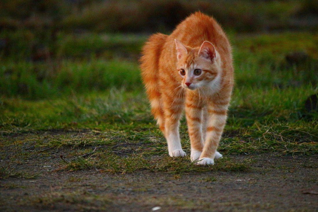 Mačka zgrbljenog repa