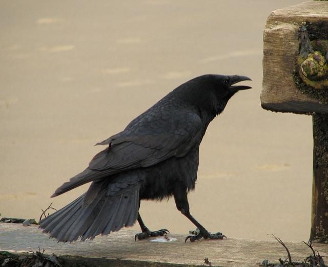 Vrane 3
