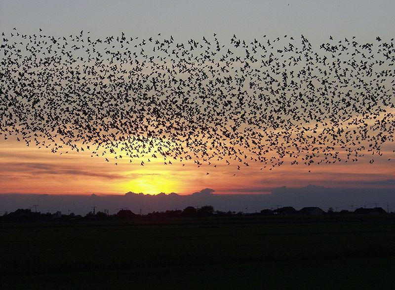 Jato ptica