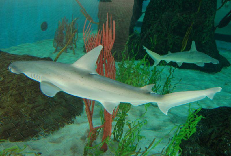 Otkrivena vrsta morskog psa koja se hrani i biljem i mesom