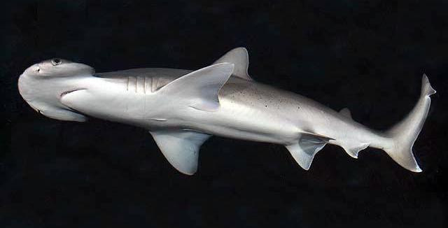 Morski pas čekićar 2