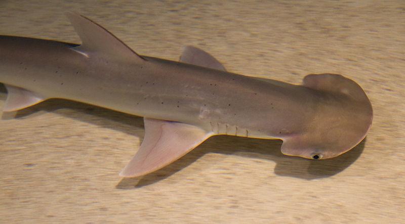 Morski pas čekićar 3