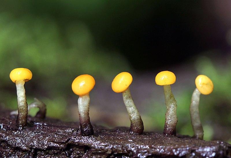 Narandzasta nitoglavka