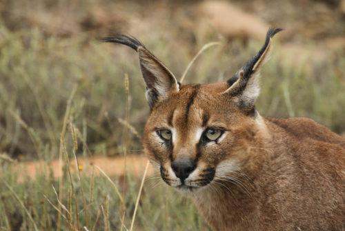 6 egzotičnih vrsta mačaka za koje vjerojatno nikad niste čuli