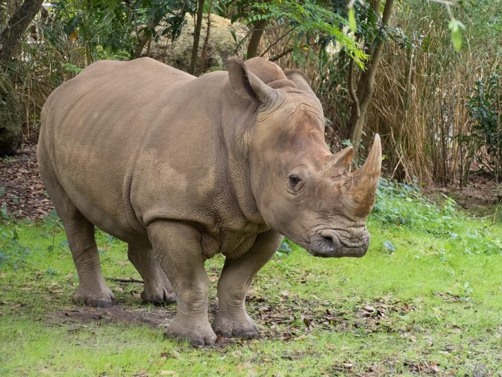Nosorog 1