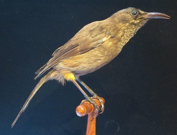 Ptica kauaʻi ʻōʻō 2