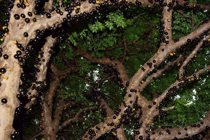 Sve o egzotičnom stablu Jabuticaba na kojem plodovi rastu direktno iz kore drveta