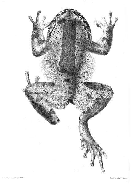 Dlakava žaba 2