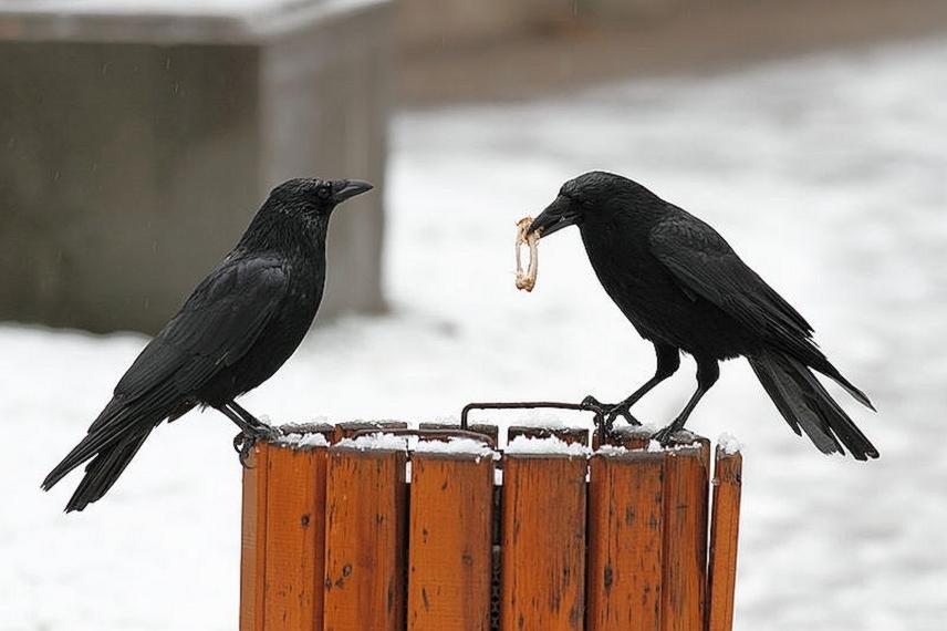 Francuzi treniraju vrane za čišćenje smeća u tematskom parku!