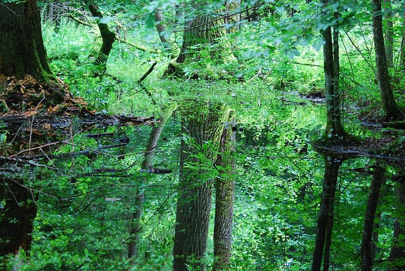 Šuma Białowieża – jedan od posljednjih ostataka drevne prašume koja je nekad prekrivala Europu