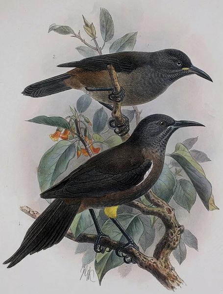 Sam na svijetu: srcedrapajuća snimka ljubavnog zova posljednje živuće kauaʻi ʻōʻō ptice